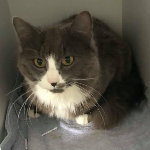 Grayson - Domestic Medium Hair Cat