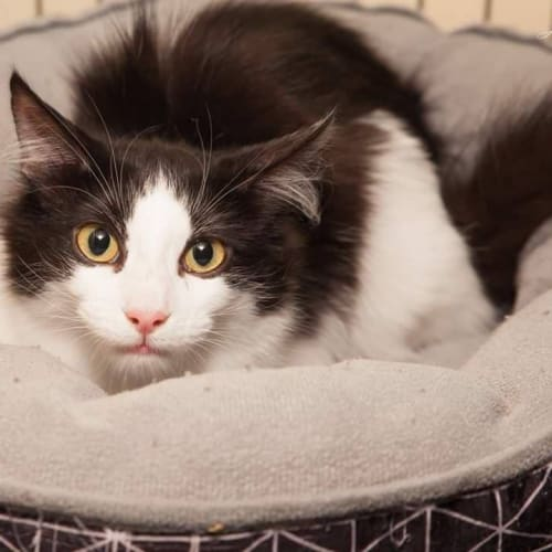AK2755 - Risoni  - Domestic Medium Hair Cat