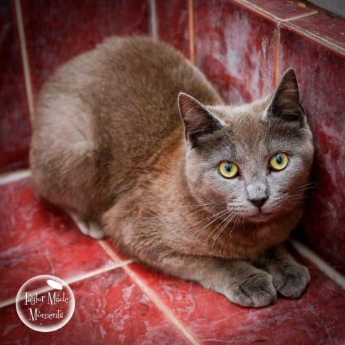 AK2841 - Smokey - Domestic Short Hair Cat