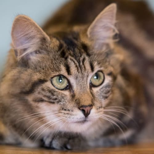 AK2795 - Sasha - Domestic Medium Hair Cat