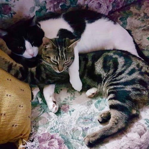 AC0769/AK2497 - GI Joe & Teebo - Domestic Short Hair Cat