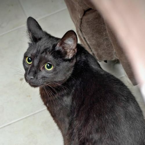 AK2792 - Fudge - Domestic Short Hair Cat