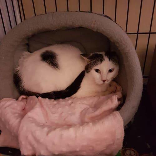 AC0918 - Tortellini - Domestic Short Hair Cat