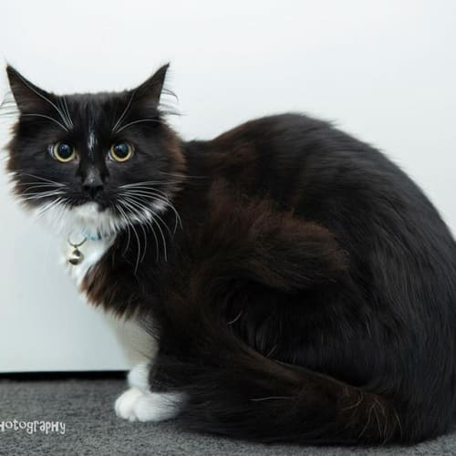 AK2793 - Onyx - Domestic Medium Hair Cat