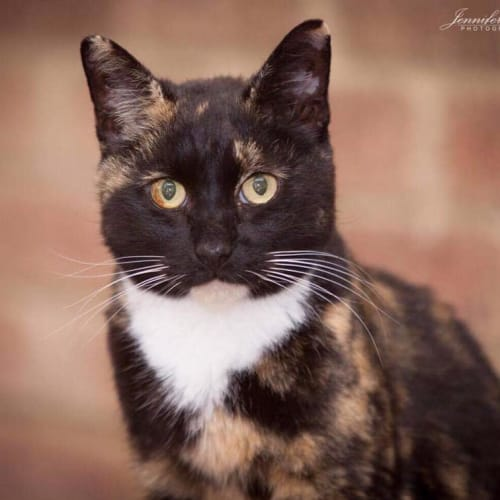 AC1019 - Tilly - Domestic Short Hair Cat