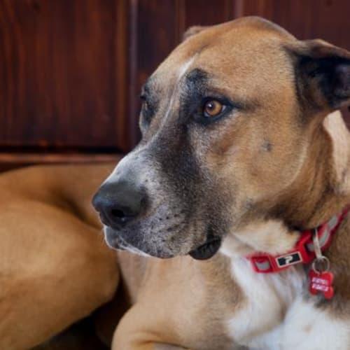 Detroit - Great Dane Dog