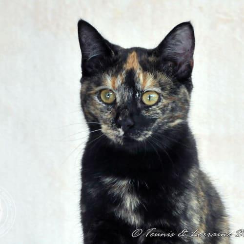 Jordie - Domestic Short Hair Cat