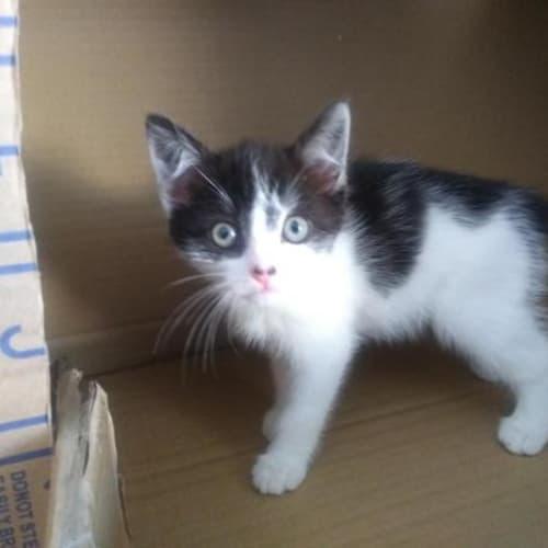 Denzel - Domestic Short Hair Cat