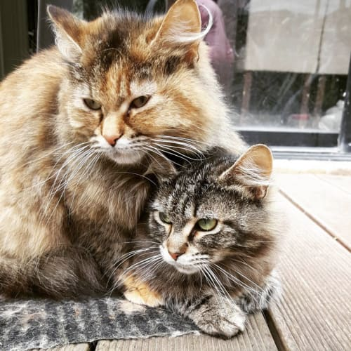 Butter & Scotch (Located in Edithvale) - Domestic Medium Hair Cat