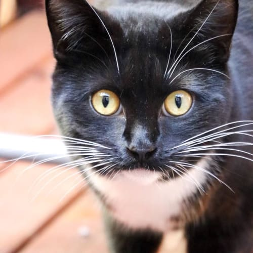 Zoe (Locate in Pascoe Vale) - Domestic Short Hair Cat