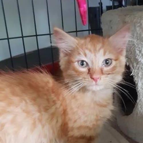 Widget - Domestic Long Hair Cat