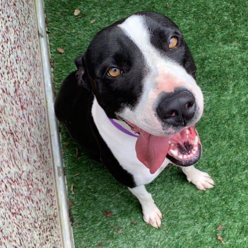 Skylar  - American Staffordshire Terrier x Bull Arab Dog