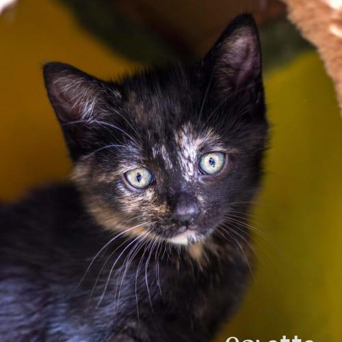 Colette - Domestic Short Hair Cat