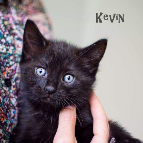 Kevin - Domestic Short Hair Cat
