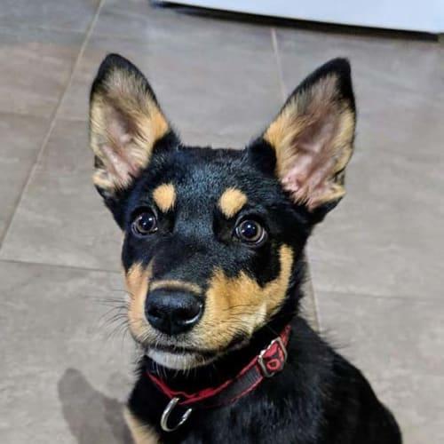 Takeshi (Australian Capital Territory) - Kelpie Dog