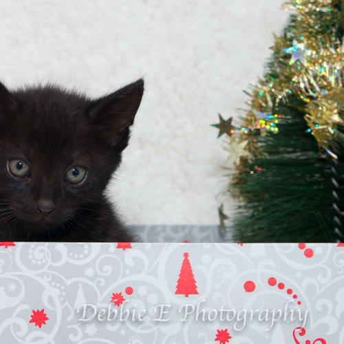 Puddles NK2696 - Domestic Short Hair Cat