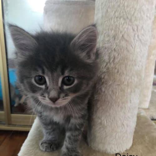 Daisy - Domestic Short Hair Cat