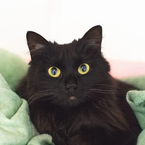 Snowflake (89861) - Domestic Medium Hair Cat