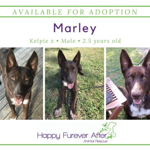 Marley - Kelpie Dog