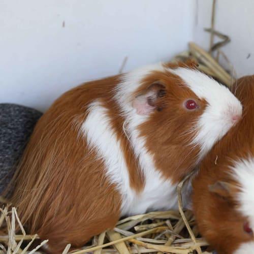 Tank - Smooth Hair Guinea Pig