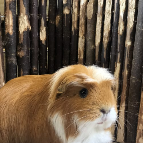 Florence and Peaches - Guinea Pig