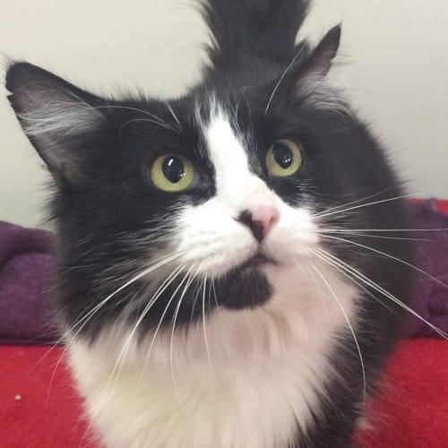 Chelsea - Located in North Melbourne - Domestic Medium Hair Cat
