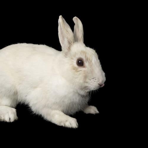 Yoghurt - Rex Rabbit