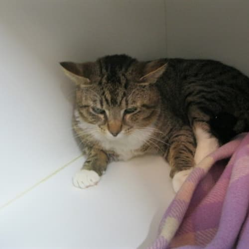Byron - Domestic Short Hair Cat