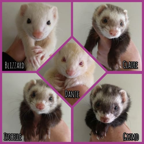 Family of 5 -  Ferret