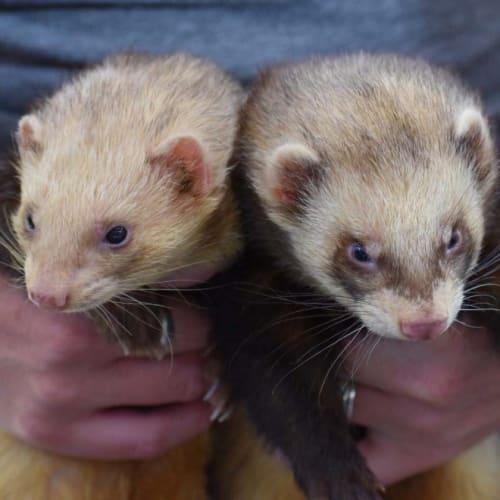 Pablo & Squinty  -  Ferret