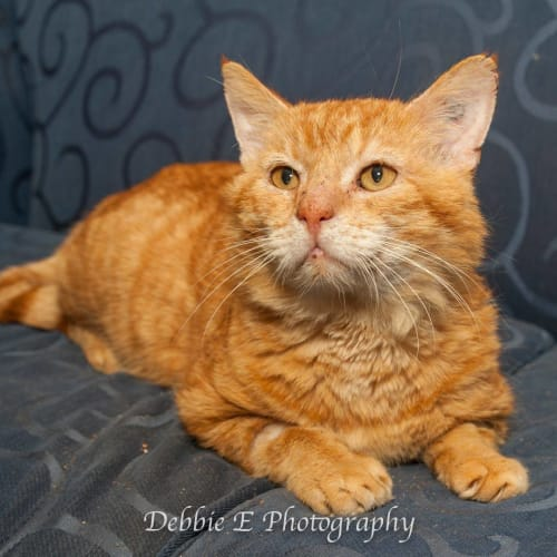 AC1026 - Cheeto - Domestic Short Hair Cat