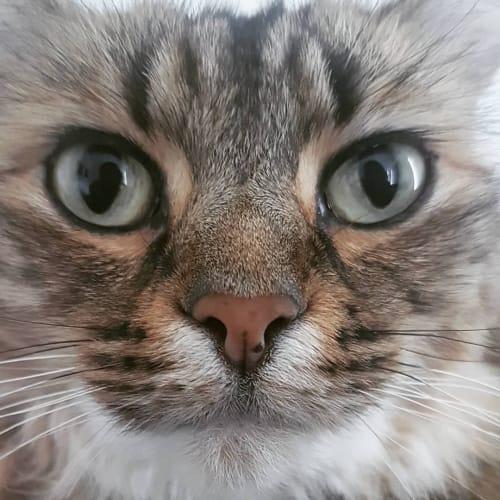 Phoebe (Located in Melbourne) - Domestic Medium Hair Cat