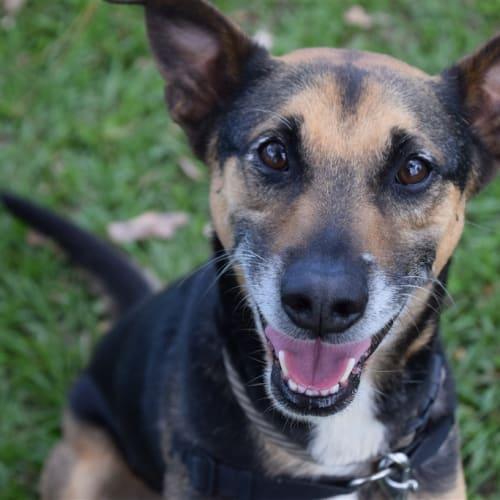 Ranger - German Shepherd x Kelpie Dog