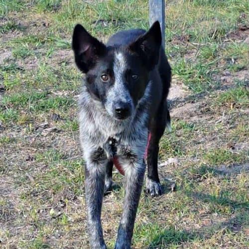 Mackie - Border Collie Dog