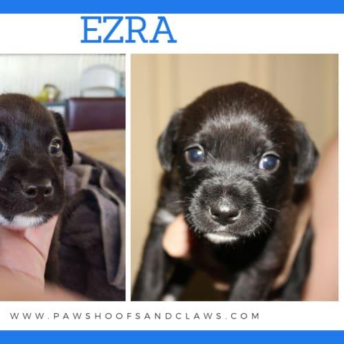 Ezra - Mixed Breed x American Staffordshire Bull Terrier Dog