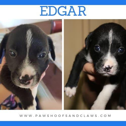 Edgar - Mixed Breed x American Staffordshire Bull Terrier Dog