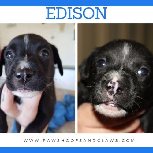 Edison - Mixed Breed x American Staffordshire Bull Terrier Dog