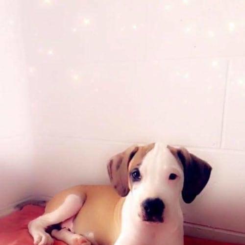 Rafiki  - Bull Arab x Great Dane Dog