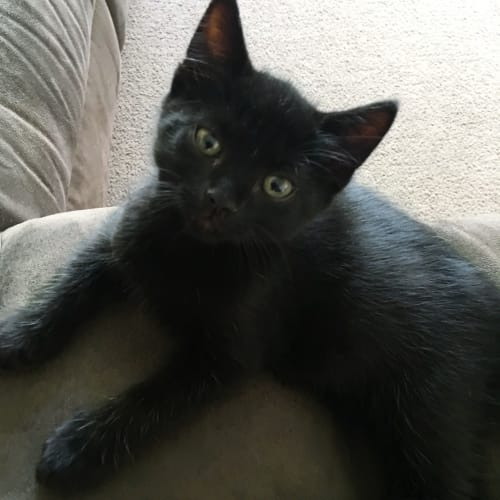 T'Challa - Domestic Short Hair Cat