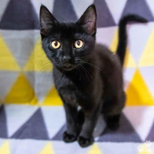 Juna - Domestic Short Hair Cat