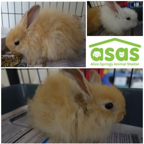 4 baby Angora mix bunnies - Angora Rabbit