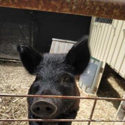 Molly 905193 -  Pig