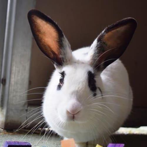 Nadia 904590  - English Spot Rabbit