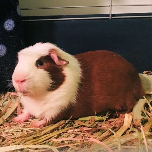 Biscuit R059 - Guinea Pig