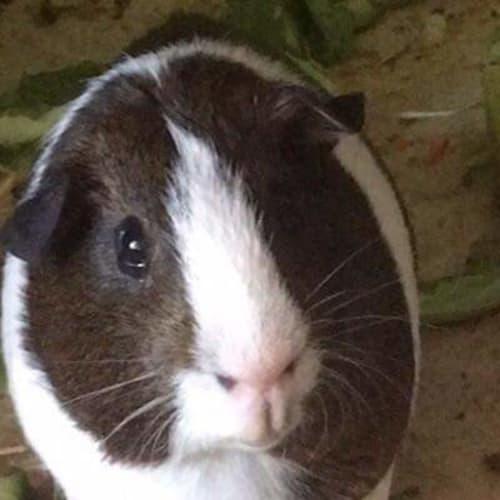 Marvin R058 - Guinea Pig