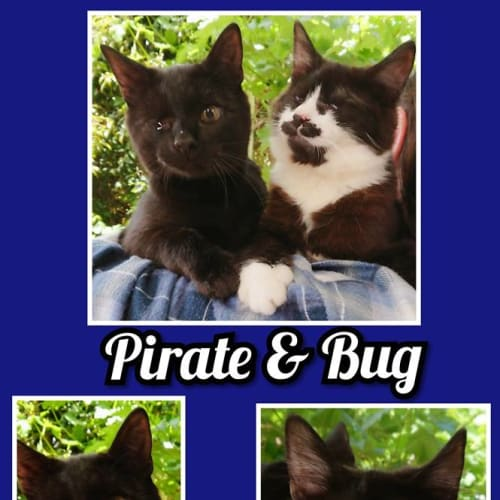 Bug & Pirate - Domestic Medium Hair Cat