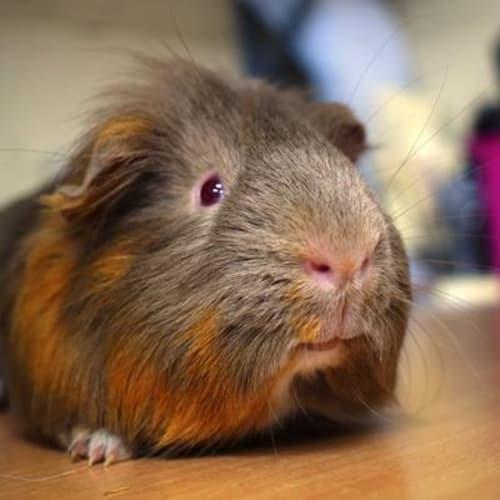 Cuddles 898992 - Smooth Hair Guinea Pig