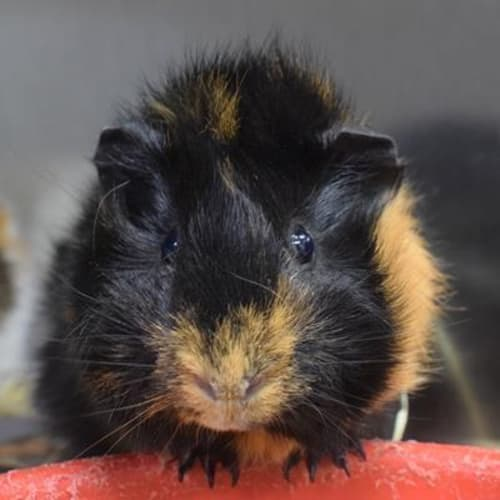 Taquito 898984 - Abyssinian Guinea Pig