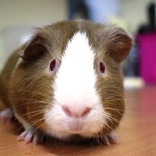 Mouse 898991  - Smooth Hair Guinea Pig