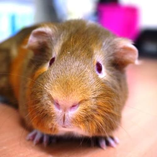 Nelson 898990  - Smooth Hair Guinea Pig